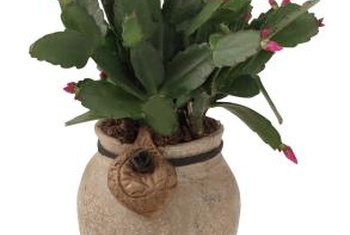 To propagate a Christmas cactus, plant a length of stem.