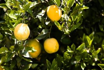If signs of overwatering your orange tree are caught before rot sets in, a reduced watering schedule often will correct the problem.