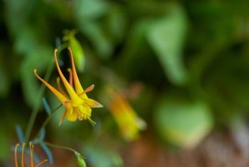 Delicate, beautiful columbines survive cold well.