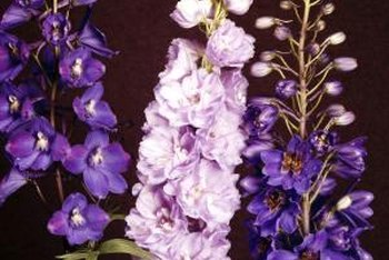 Delphiniums grow best in cool climate zones.