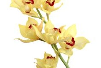 Some cymbidium orchids will form more than 20 blossoms per stem.