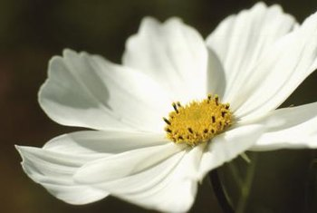 Cosmos flowers have a simple, open shape.