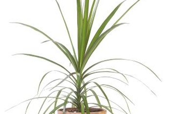 Dracaena is a rugged, slow-growing plant with a tropical appearance.