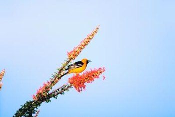 Hooded orioles, who once nested in Southwestern deserts, are moving north.