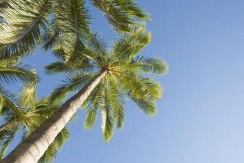 Palm trees are slow-growing tropical plants with tall, slender trunks and compact crowns.
