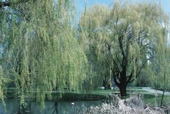 Willows are fast-growing, weak-wooded deciduous trees.