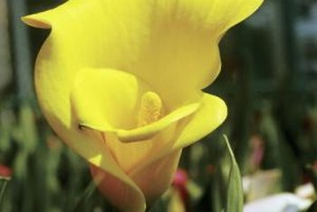 Calla lilies bloom in shades of yellow, purple, pink, red and white.
