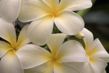 Plumeria is a fragrant tropical flower.