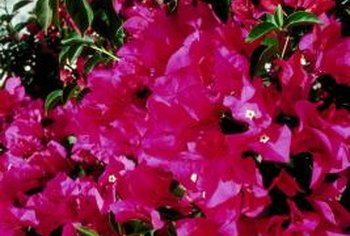 Bougainvilleas bloom well in drought conditions.