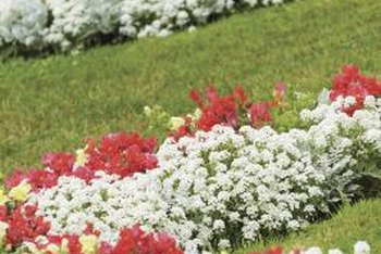 Alyssum will lose moisture less easily when used as a bedding plant than in baskets and containers.