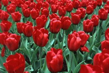 Red tulips are a cheerful alternative to traditional red roses in the garden.