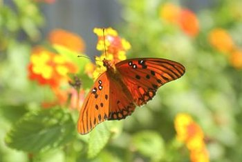 Butterflies are drawn to flower clusters, where nectar is ample.