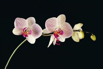 "The name ""moth orchid"" refers to each flower's shape."