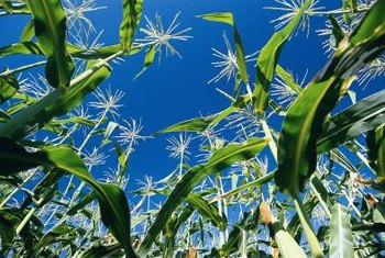 Corn and crabgrass both grow best in the heat of summer.