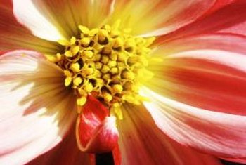 Since 1926, the dahlia has been the official flower of San Francisco.