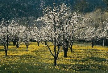 Remove unwanted apple trees with a two-step process.