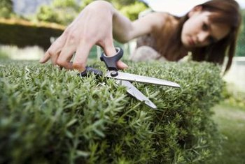 Pruning scissors do not crush the stems when taking cuttings.