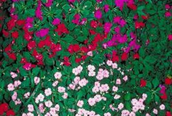 Mixing impatiens with varying colors in the garden creates a rainbow mound.