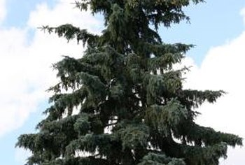 Blue spruce trees are attractive and require very little care.
