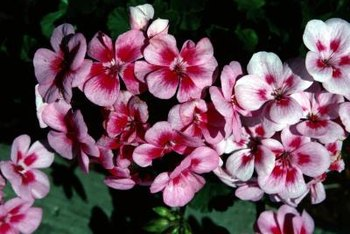 Potted geraniums provide a splash of color indoors or out.