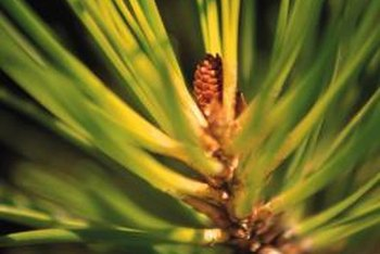 The genus Pinus includes around 100 different species.