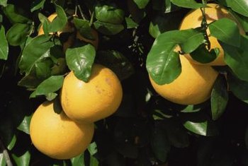 Transplant your grapefruit plants to the garden after they develop in the pot.