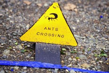 Ants will cross a line any chance they get.