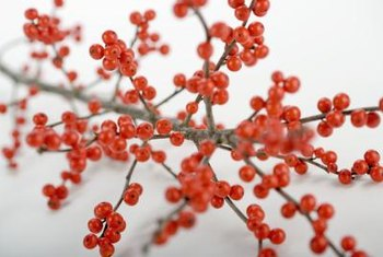Winterberry holly bears bright red fruits on leafless stems.