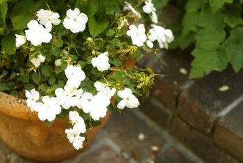 Grow impatiens in pots as border plants.