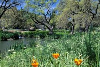 California gold poppies nod in a natural riparian border.