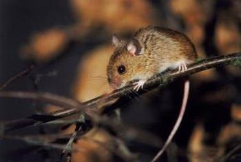 Mice can climb brick walls and chimneys and enter any small opening.