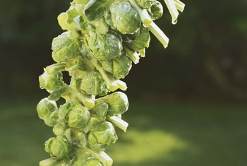 Growing Stages of Brussel Sprouts | Home Guides | SF Gate