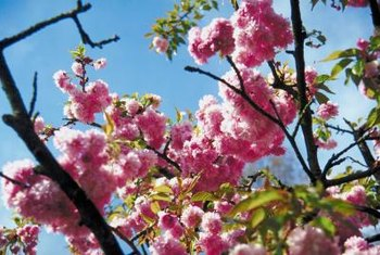 Cherry blossoms in spring are the main draw of ornamental cherry trees.