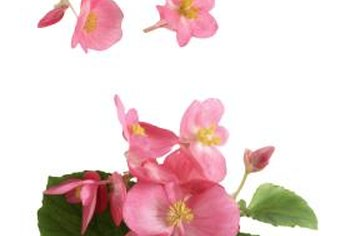 Angel wing begonias produce delicate blossoms on tall canes.