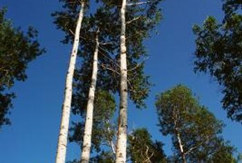 Many poplars grow tall, thin and straight.