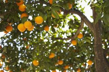 Curled leaves on orange trees indicate disease, insect infestation or improper care.