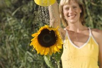 Overhead watering of sunflowers is not recommended.