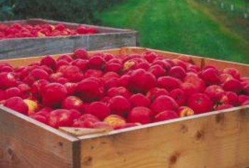 Carolina Red June apple produces brilliant red fruits.