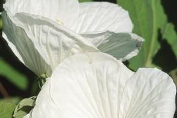 Rose of Sharon flowers are large-petaled and can be impressive.