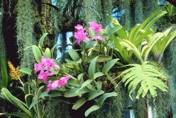In nature, epiphytic orchids grow attached to trees.