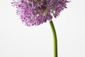 The flowers of giant allium closely resemble those of other ornamental onions.