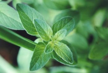 Healthy mint plants require clipping while they are growing.