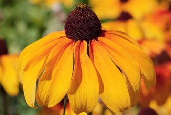 Large coneflower is a native plant that naturalizes easily.