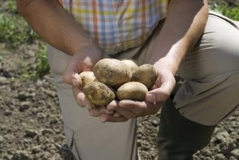 Forming hills around potato stems protects the tubers from light and increases yield.