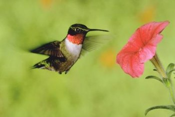 A hummingbird enjoying nectar from a bright pink petunia.