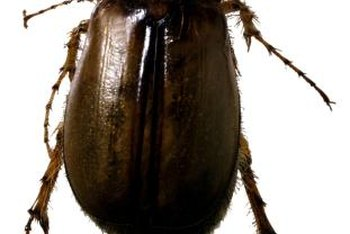 Adult June beetles eat leaves and flowers of broadleaf plants.