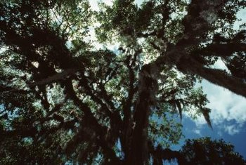 Cypress trees are evergreen, so they provide shade in all seasons.