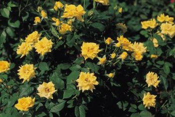 Deep green foliage and plentiful flowers are signs of a well-fertilized roses.