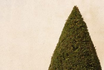 Add interest to your landscape design with conical or pyramidal or evergreens.