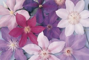 Clematis can be found in shades ranging from white to purple.